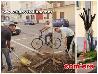 San Vitaliano, sostituito ( a titolo gratuito) il tronco secco di via Risorgimento: ecco il nuovo alberello