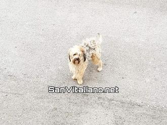 San Vitaliano, segnalato cane smarrito: padrone dove sei?