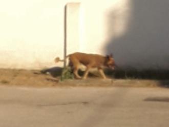 San Vitaliano, cane a zonzo in corso Frascatoli: padrone dove sei?