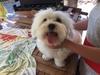 Smarrito un piccolo cane maltese, si chiama Lilly. Aiutateci a ritrovarlo...