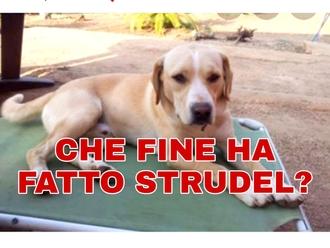 San Vitaliano, migliaia le condivisioni per Strudel ma nessuna traccia: che fine ha fatto?