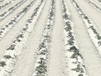 La gelata brucia le coltivazioni: San Vitaliano chiede alla Regione lo stato di calamità