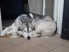 San Vitaliano, smarrito Husky: aiutateci a trovarlo !