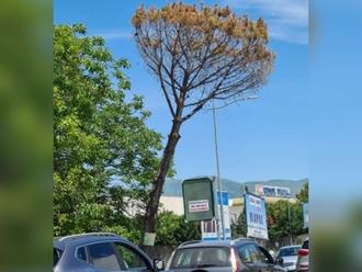 San Vitaliano, il pericolo su Via Nazionale: pino morto potrebbe cadere sul traffico