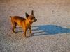 San Vitaliano, cane a zonzo da una settimana: qualcuno avverta il padrone!